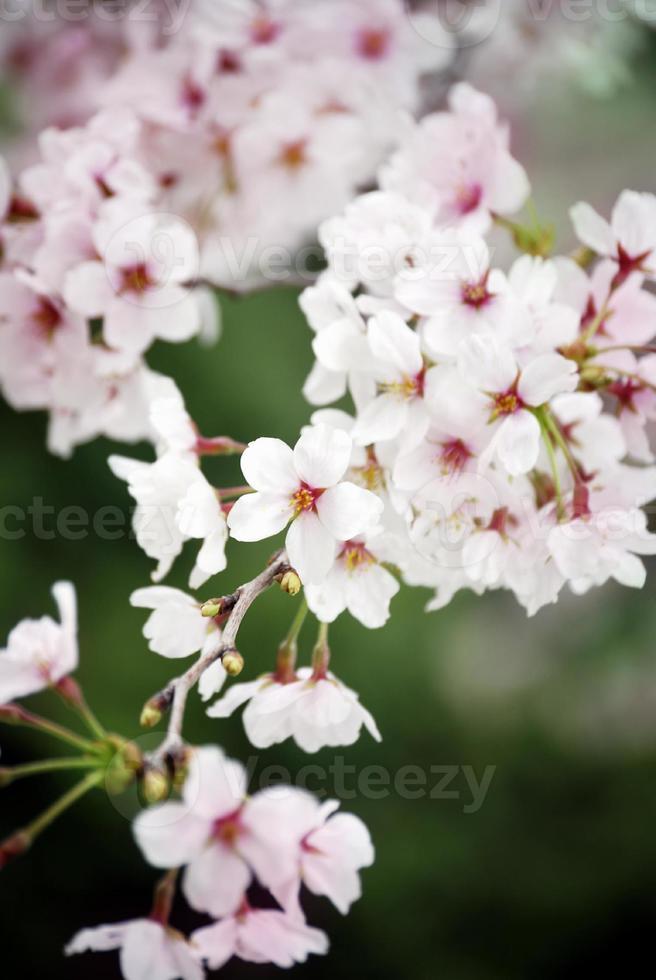 Kirschblütenknospen, flacher Dof foto