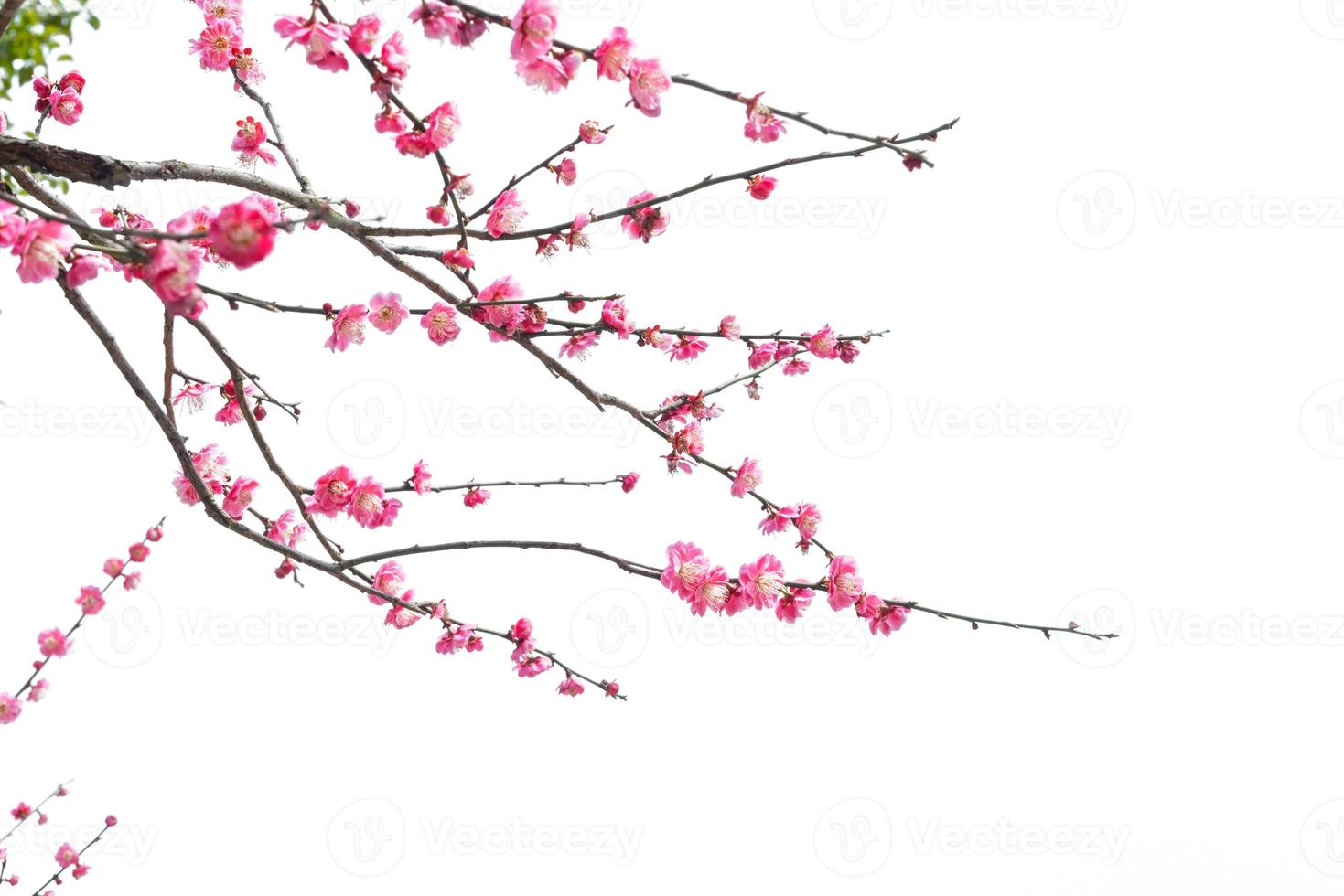 Pflaumenblüten foto