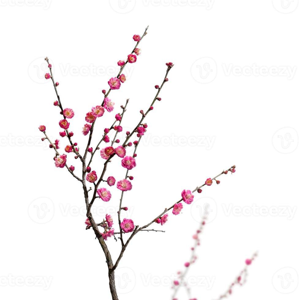 Pflaumenblüte foto