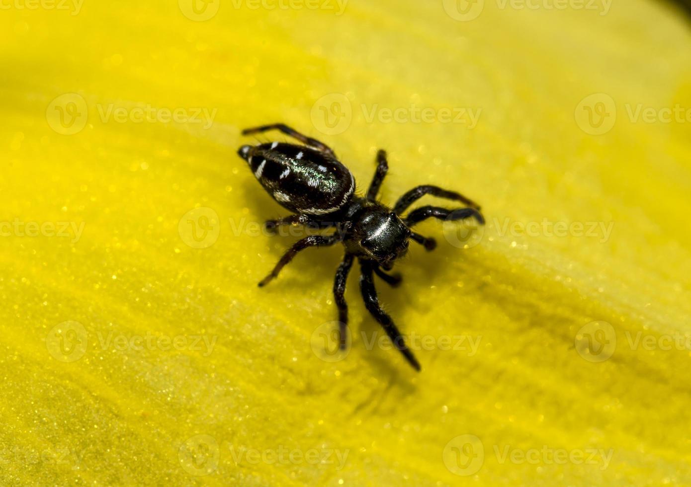 die springende Spinnenfamilie (Salticidae) foto