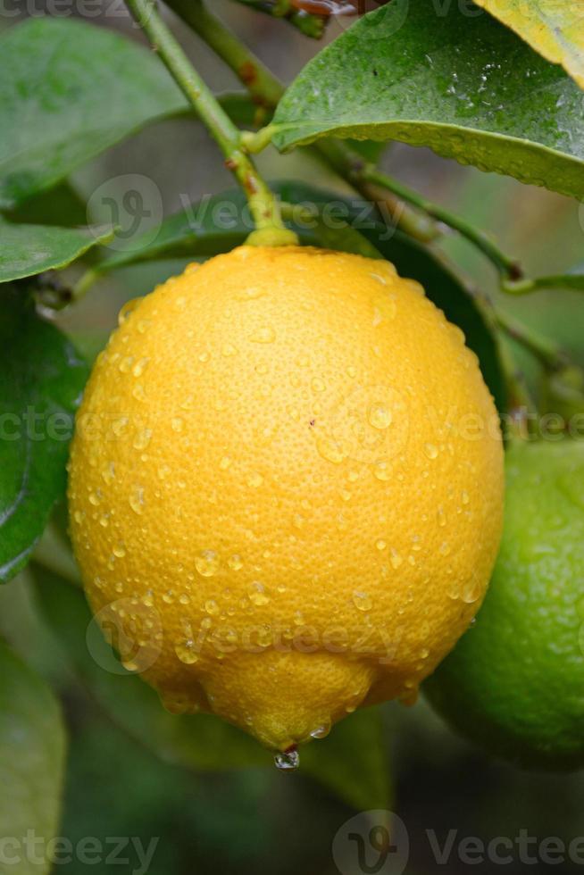 Regentropfen auf Zitrone foto
