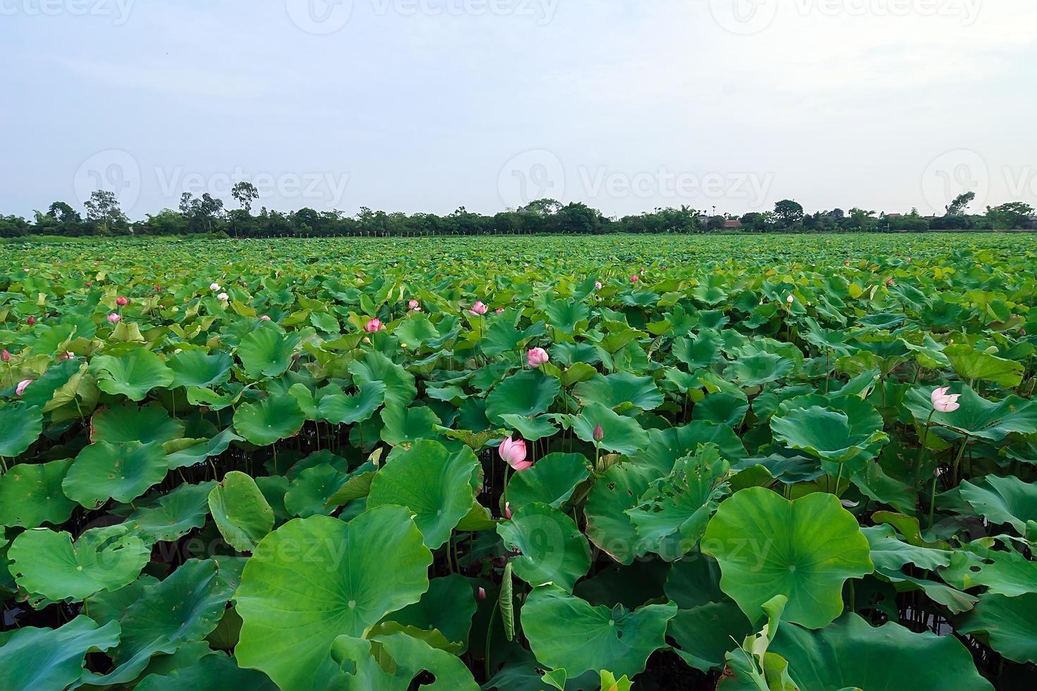 Lotusblume und Lotusblumenpflanzen foto