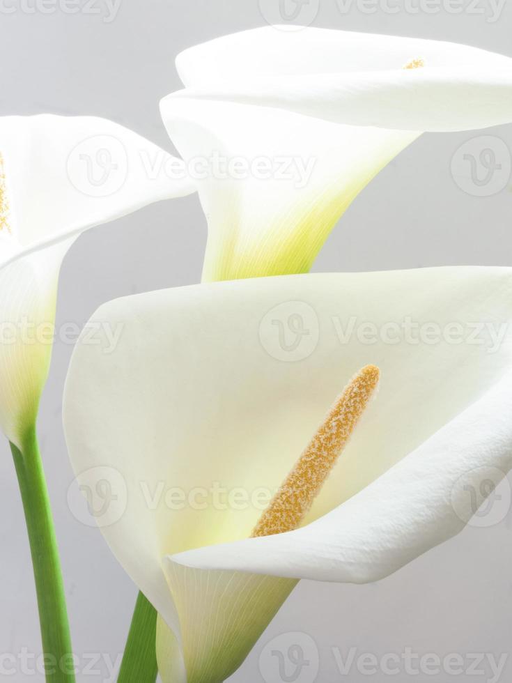 weiße Callablumen foto