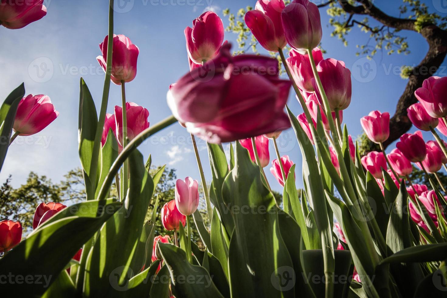 schöne rosa Tulpen an einem grünen Garten von Istanbul foto
