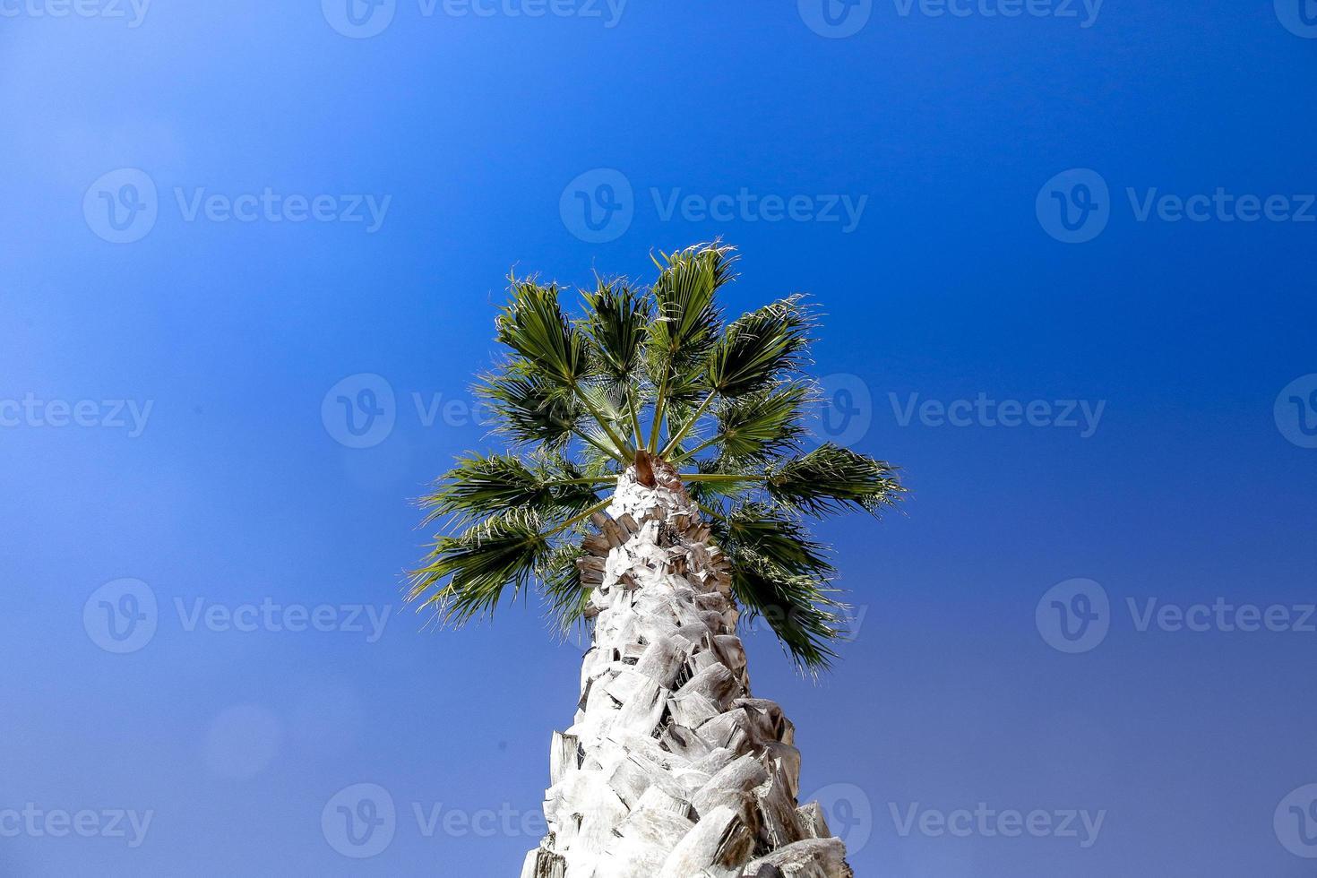 Palme in Lagos in der Nähe von Marina, Portugal foto