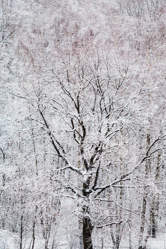 schwarze Eiche im weißen Schneewald im Winter foto