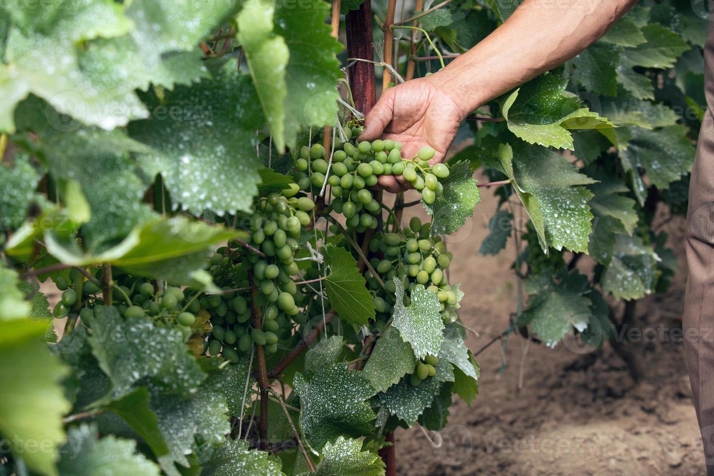 älterer Mann überprüft die Trauben in seinem Weinberg foto
