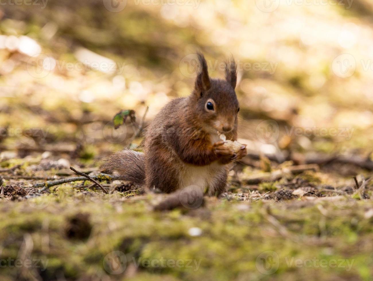 rote Eichhörnchen foto