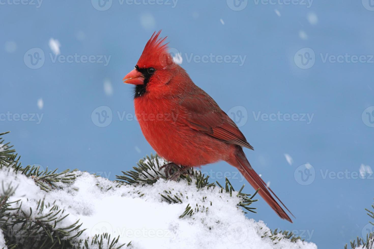 Kardinal in einem Schneesturm foto