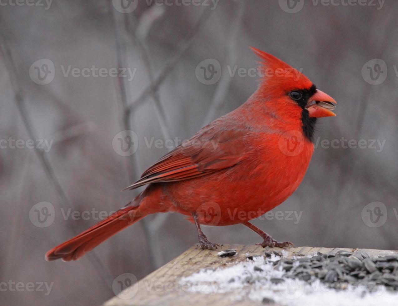 nördlicher Kardinal essen foto