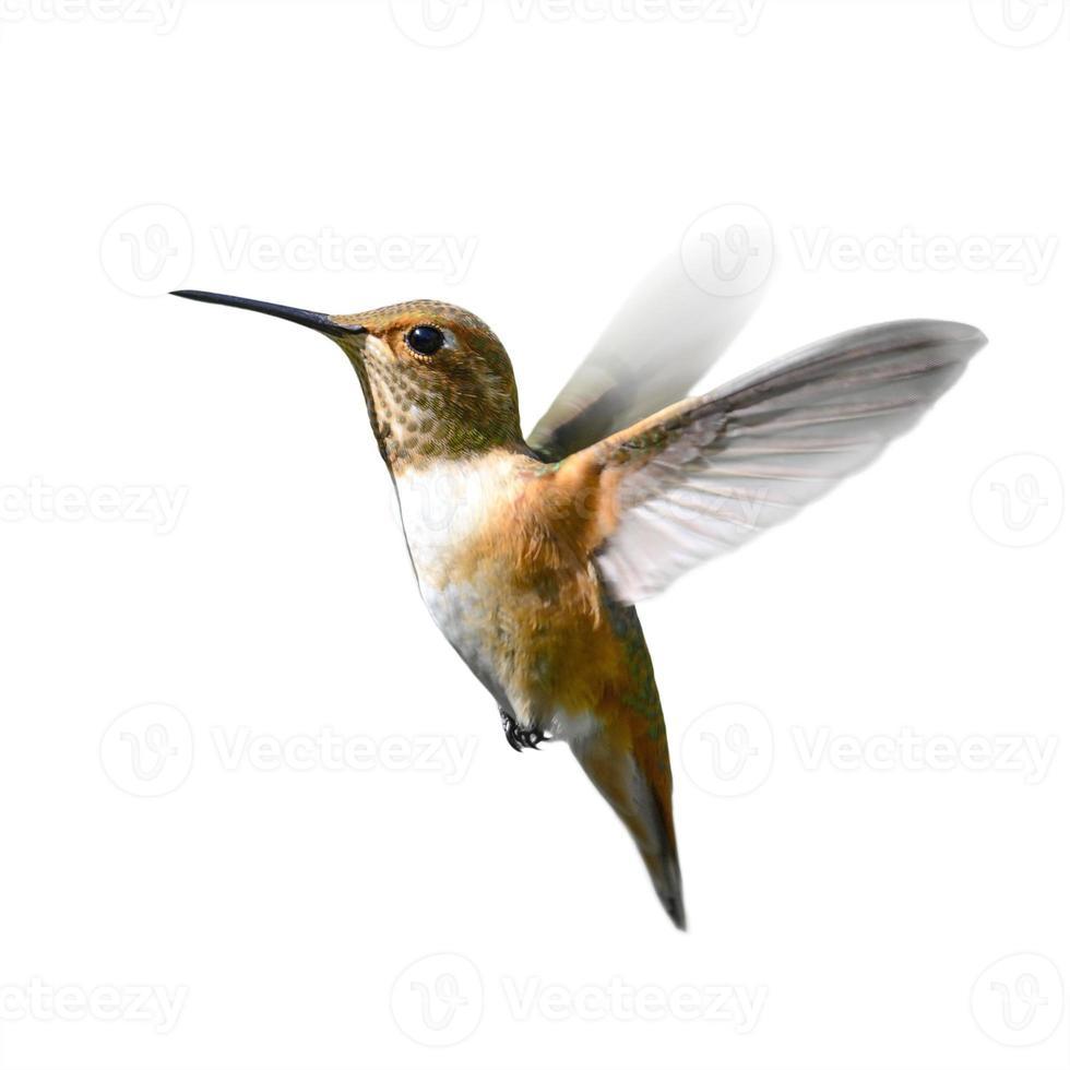 Rufous Kolibri im Flug foto