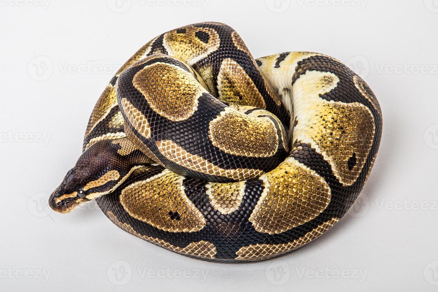 Ball Python foto