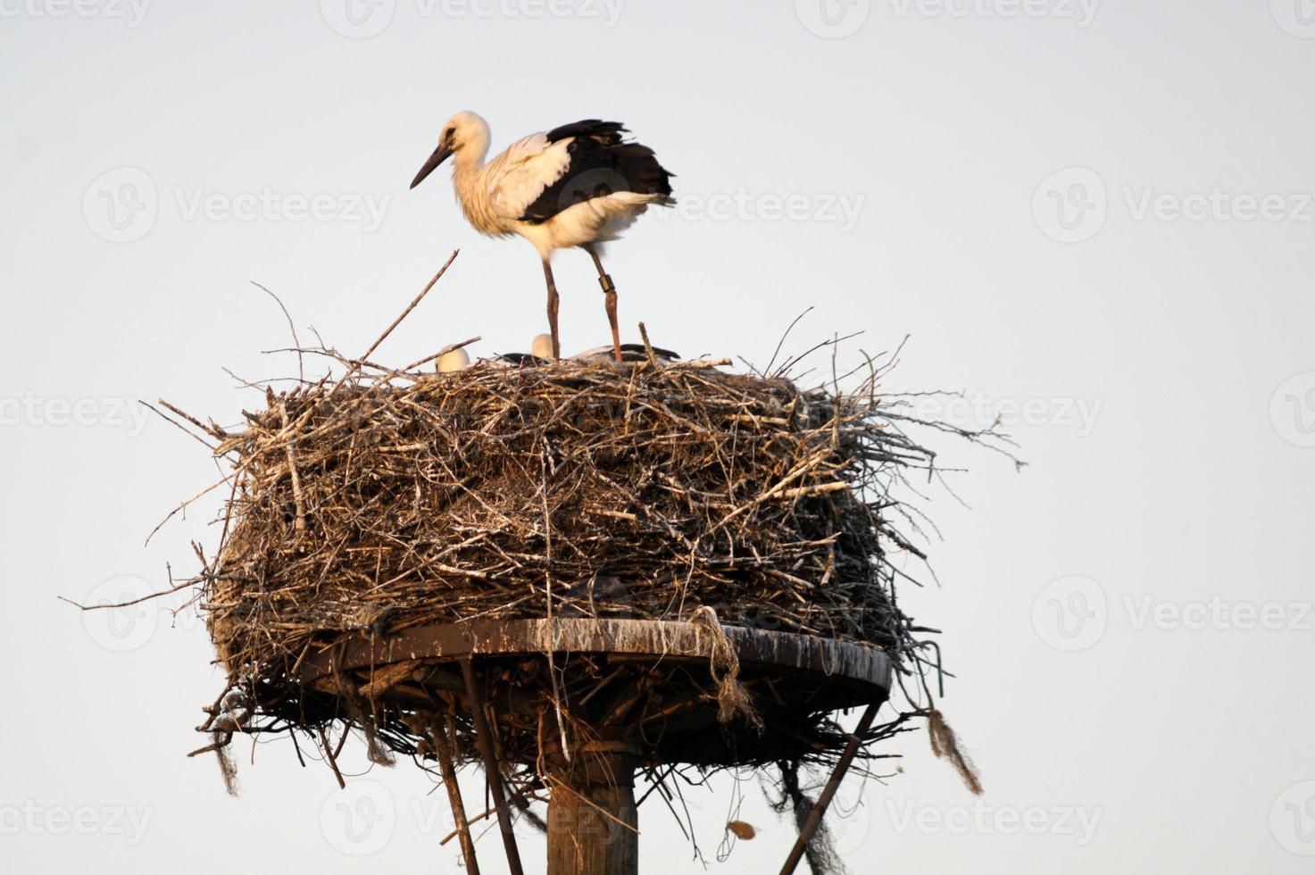 Storch im Nest mit Jungtieren foto