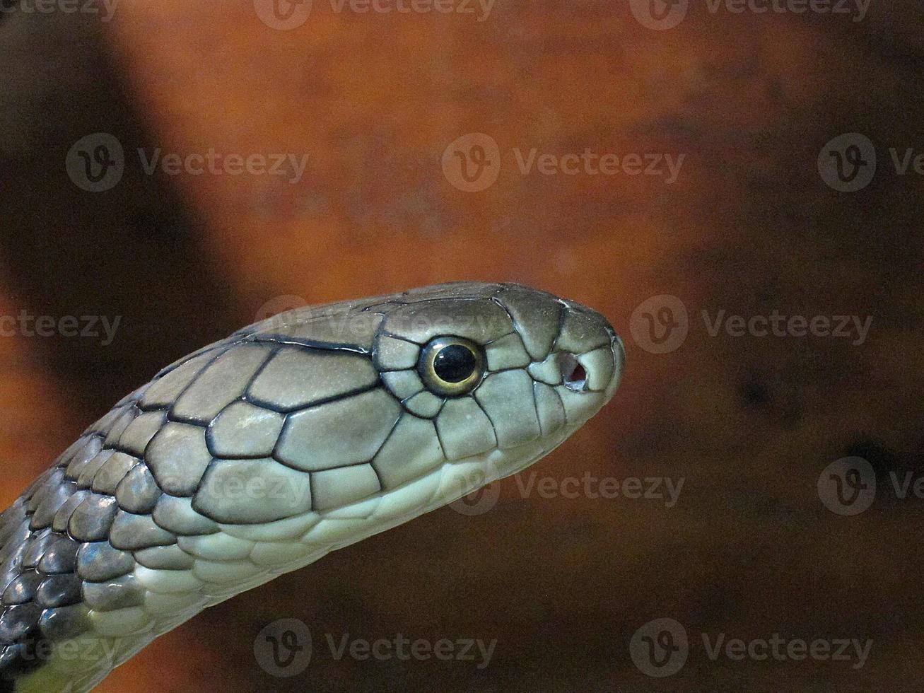Königskobra. foto