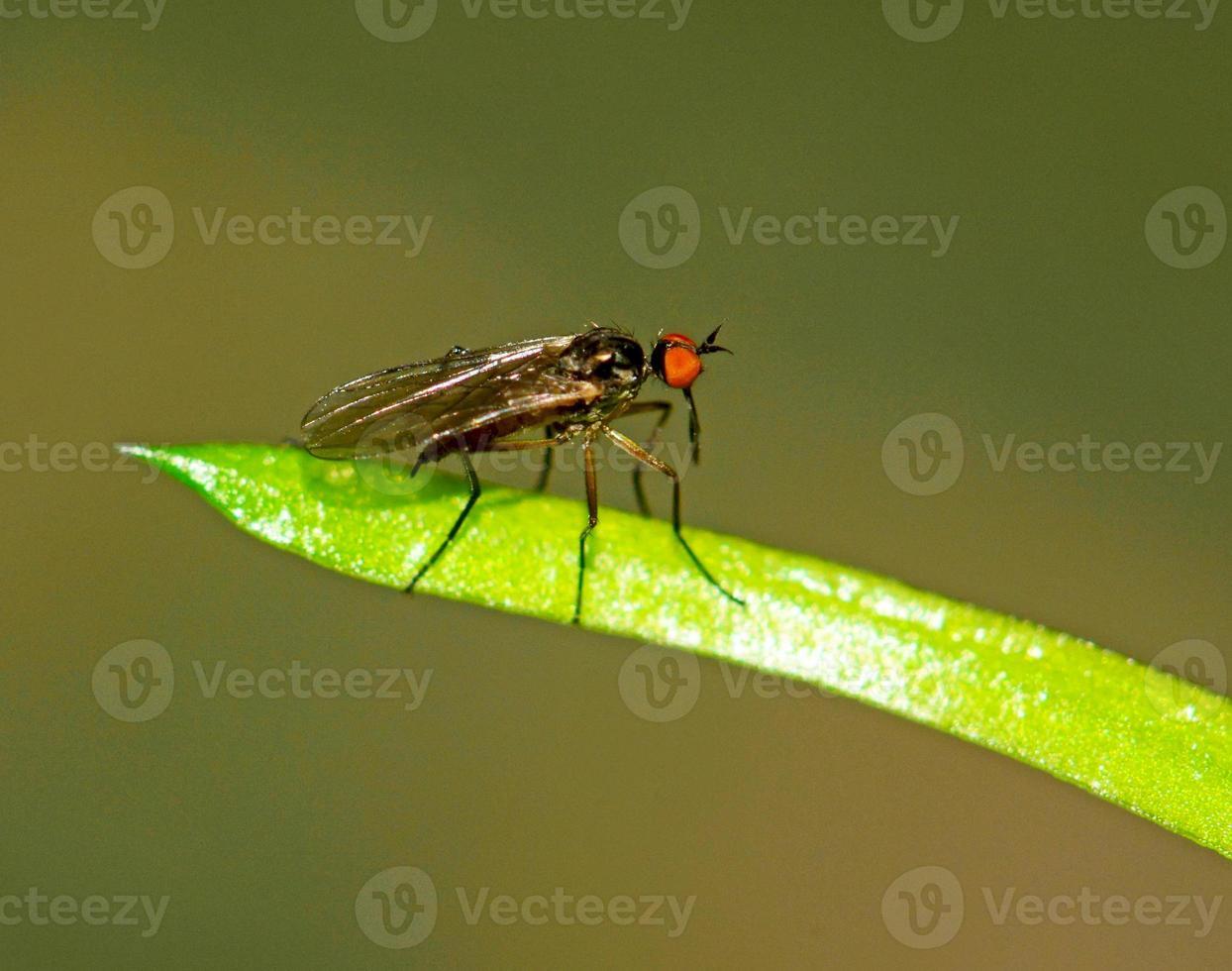 stechende Fliege auf einem Blatt foto