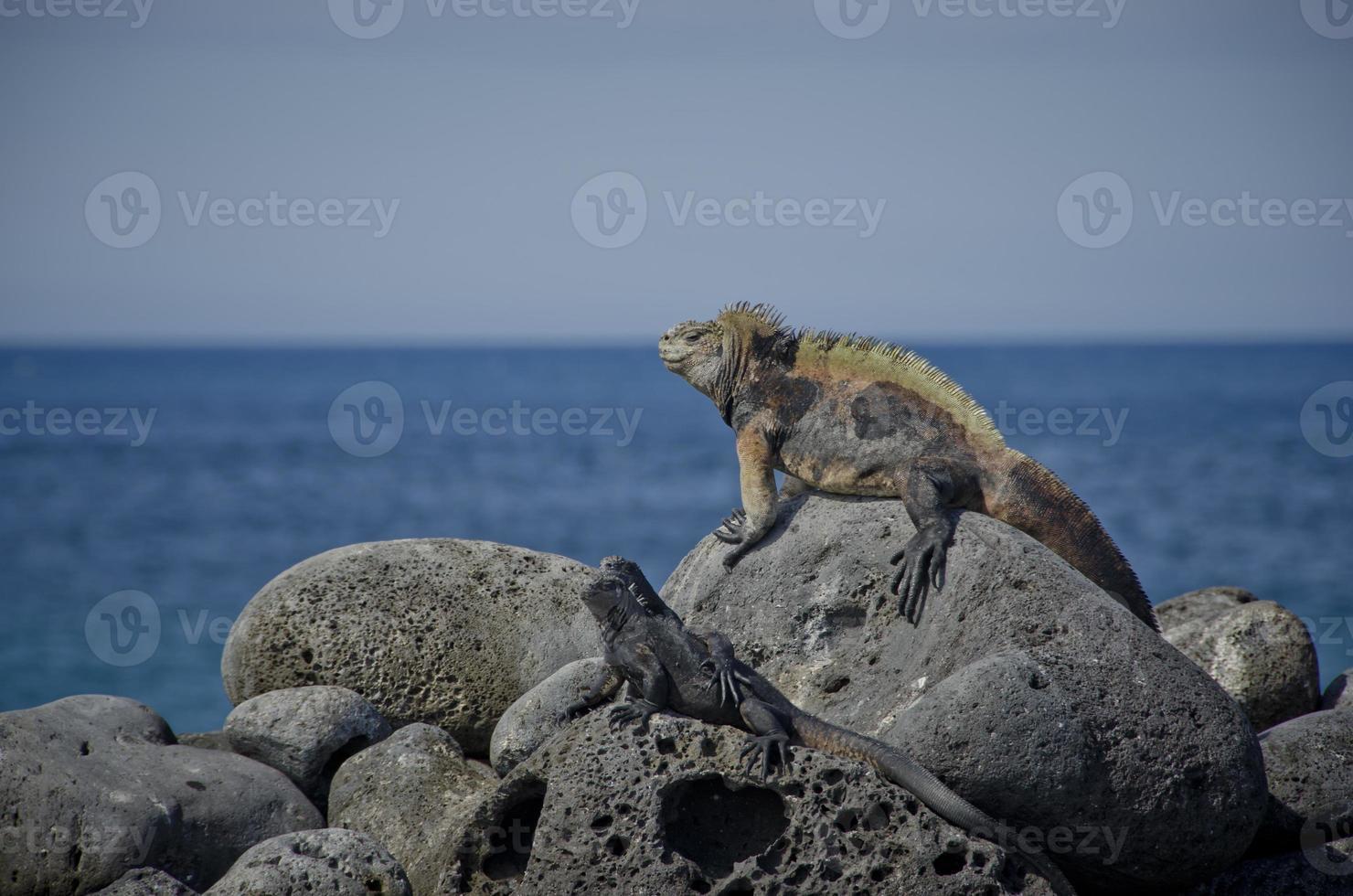 Galapagos-Leguan foto