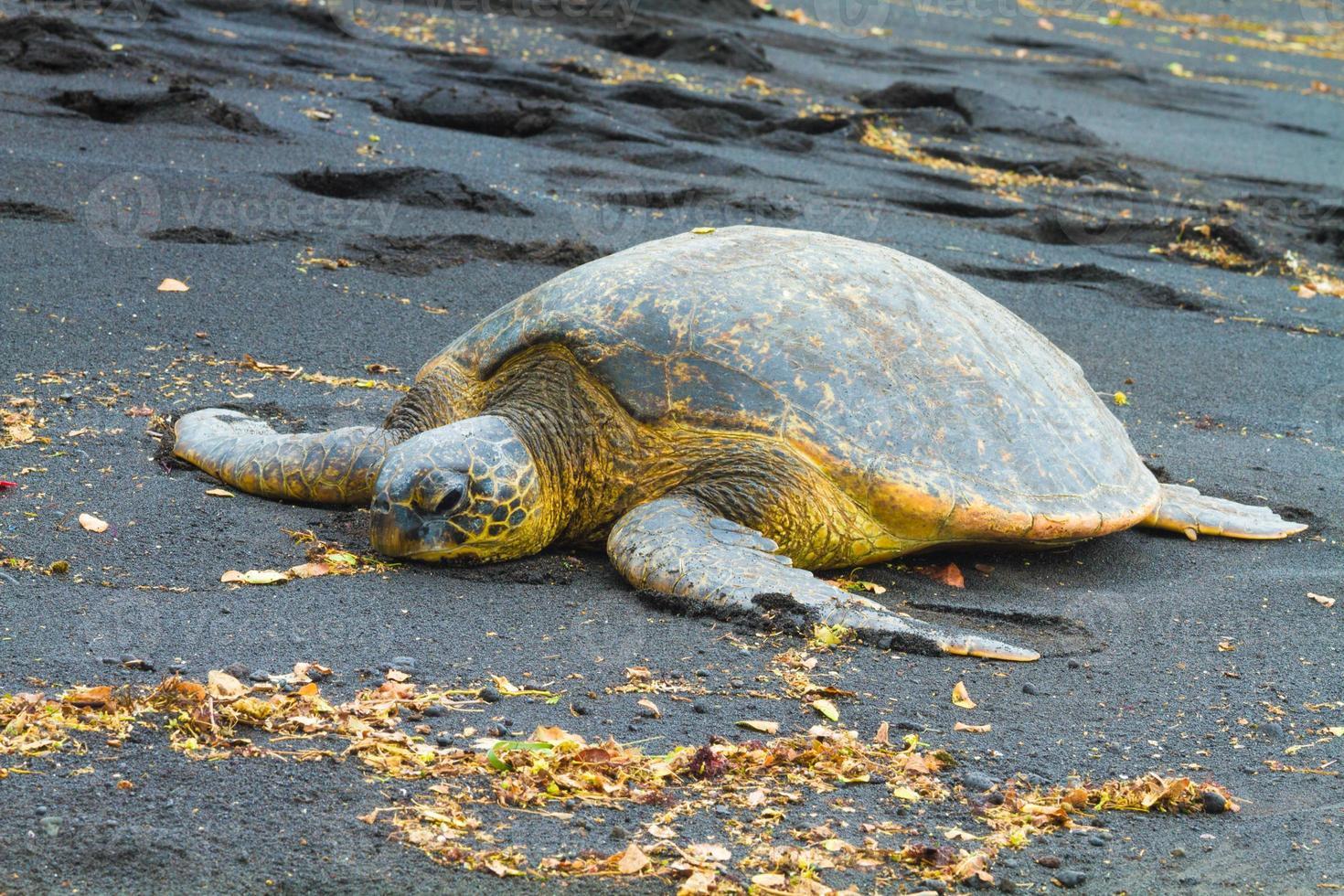 grüne Meeresschildkröten foto