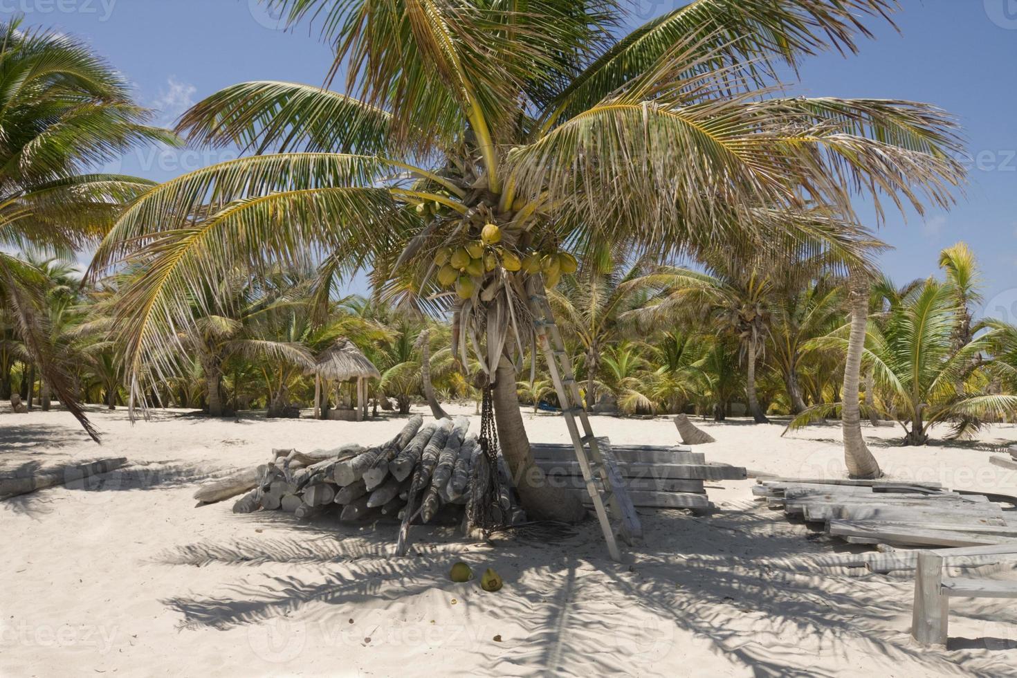 Kokospalme im Schildkrötenreservat foto