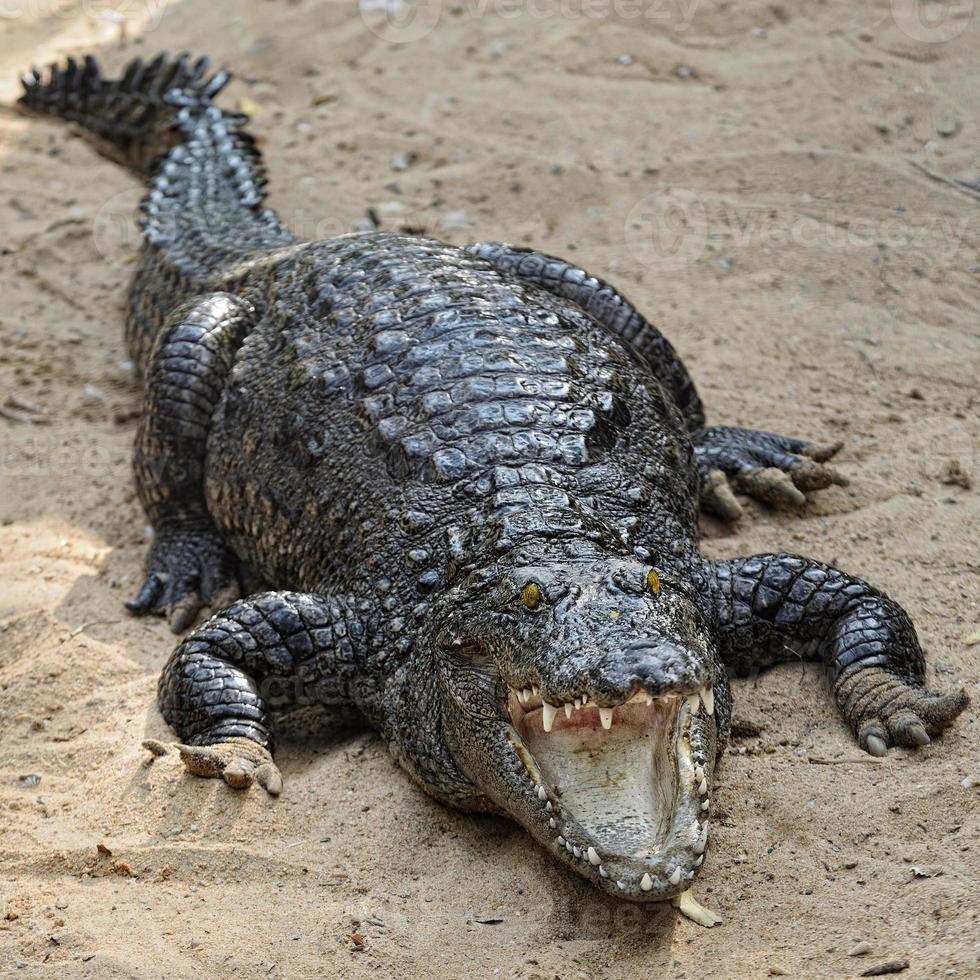 Alligator foto