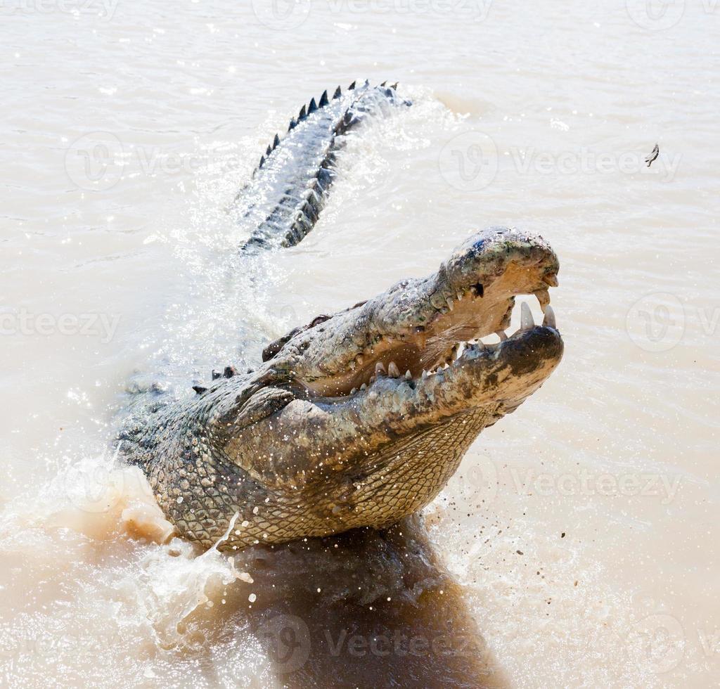 springende Krokodile aidelaide Fluss Australien foto