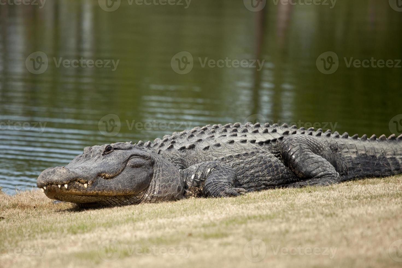 wilder Alligator auf dem Golfplatz foto