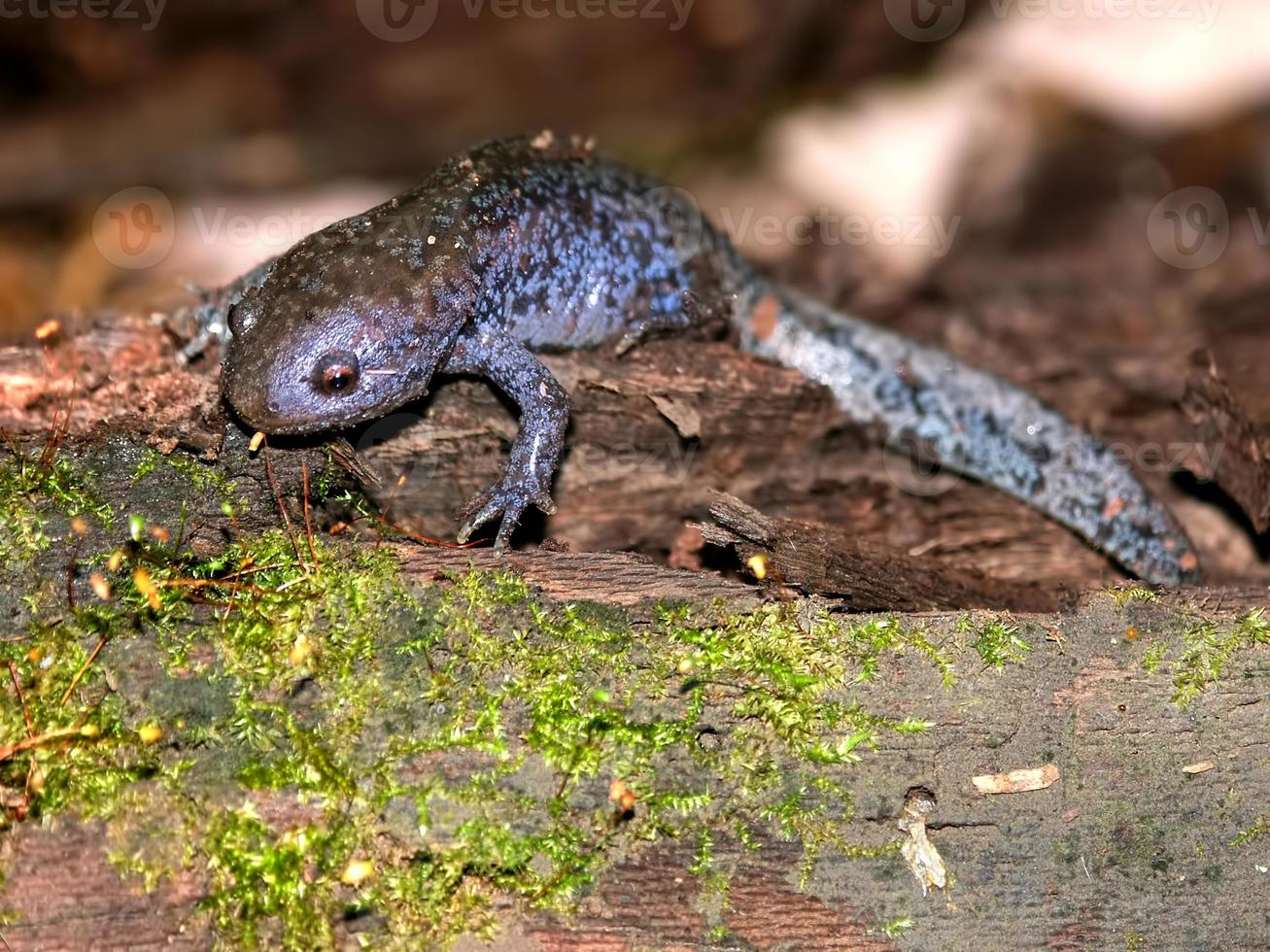 Maulwurf Salamander in Illinois foto
