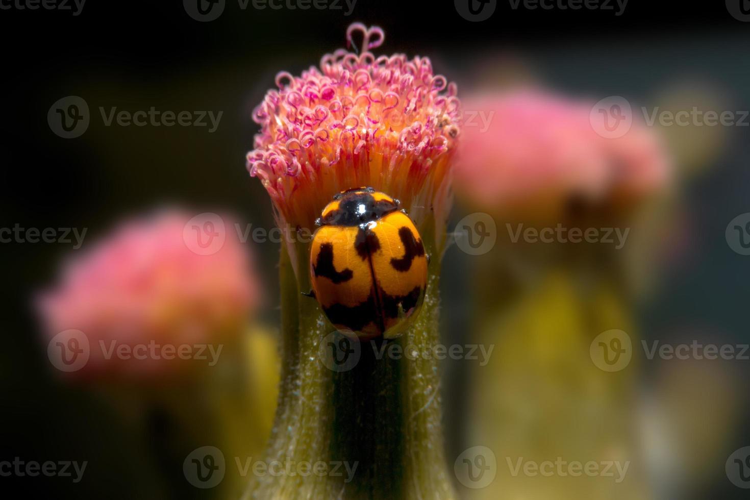 Marienkäfer, der auf Blume mit Nahaufnahme Detailansicht hält. foto