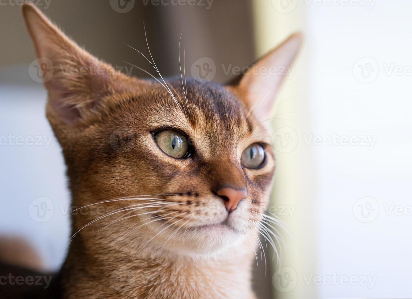 reinrassige abessinische Katze foto