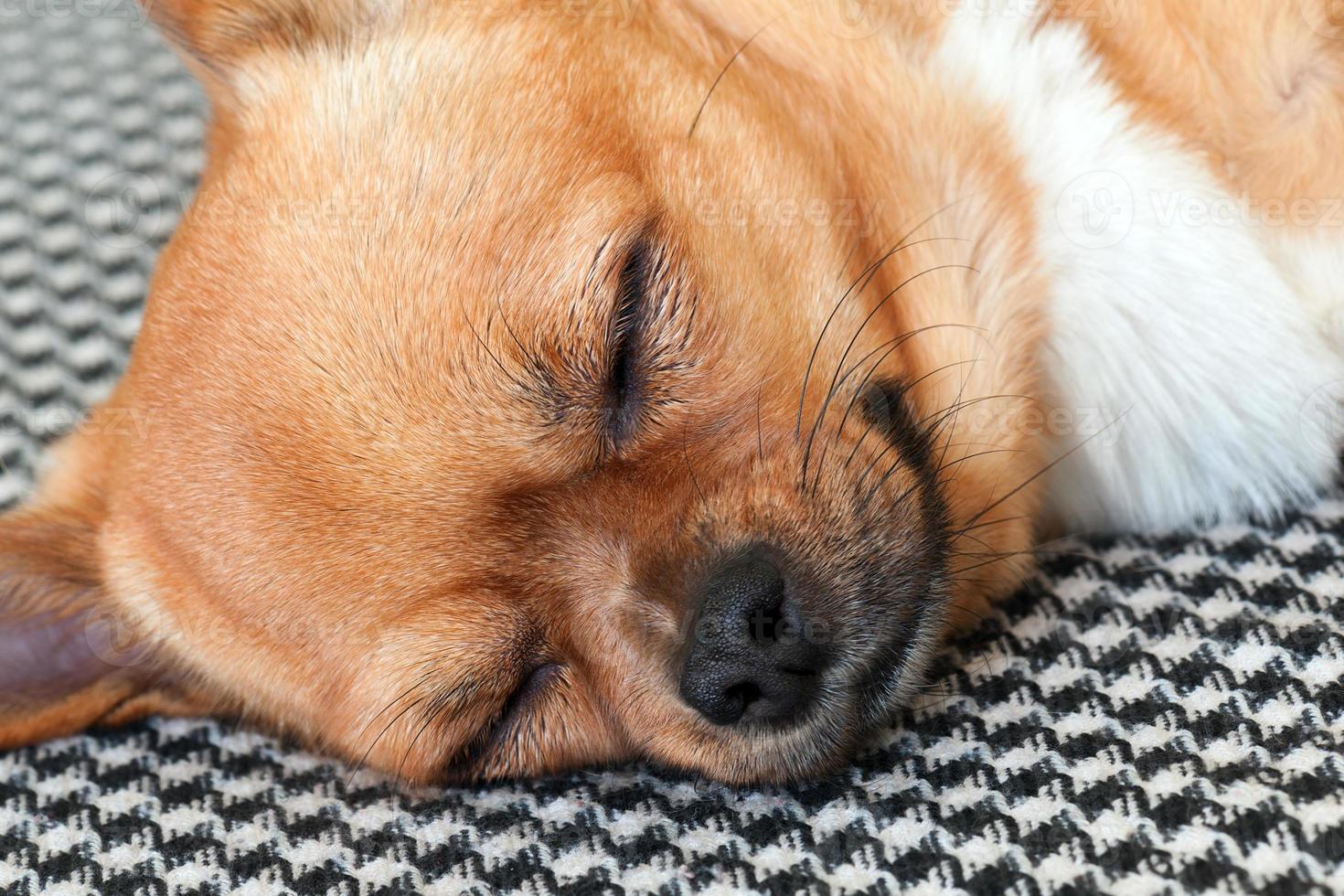 schlafender roter Chihuahua-Hund auf Shemagh-Musterhintergrund. foto