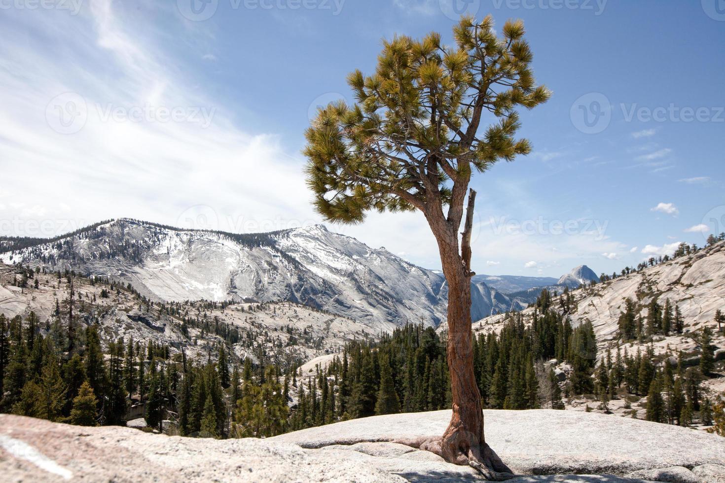 Kiefer auf Felsen in Yosemite foto