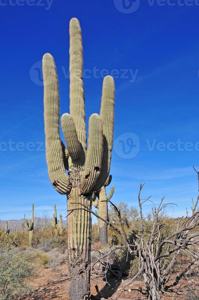 Saguaro-Kaktus, Arizona, USA foto