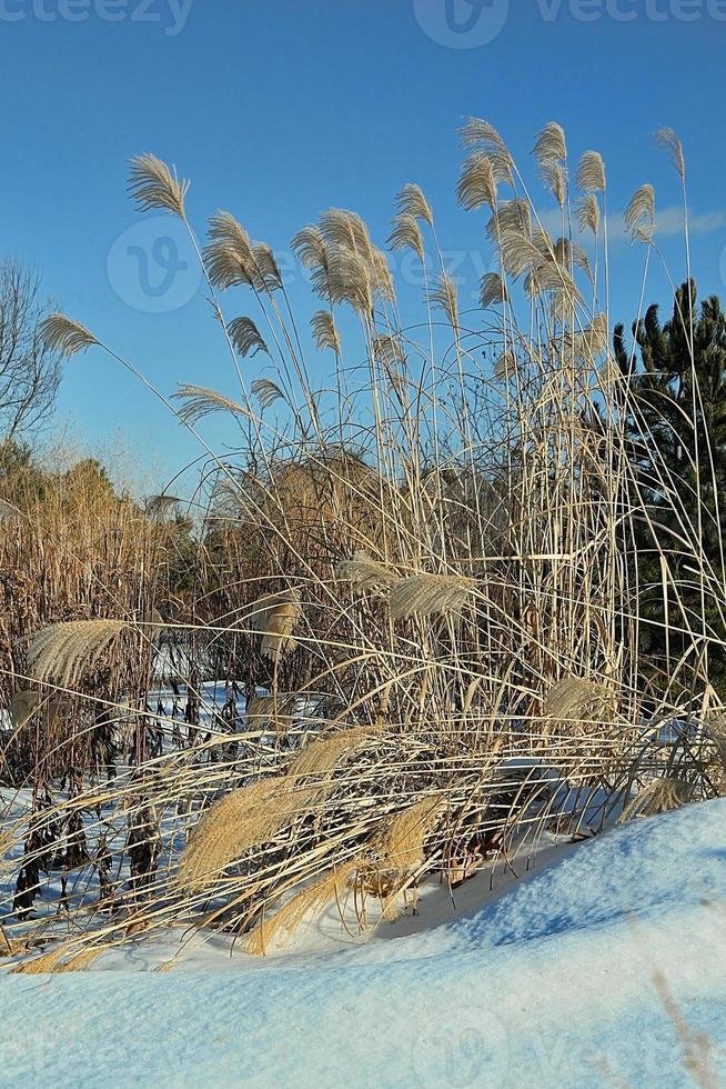 Pampasgräser foto