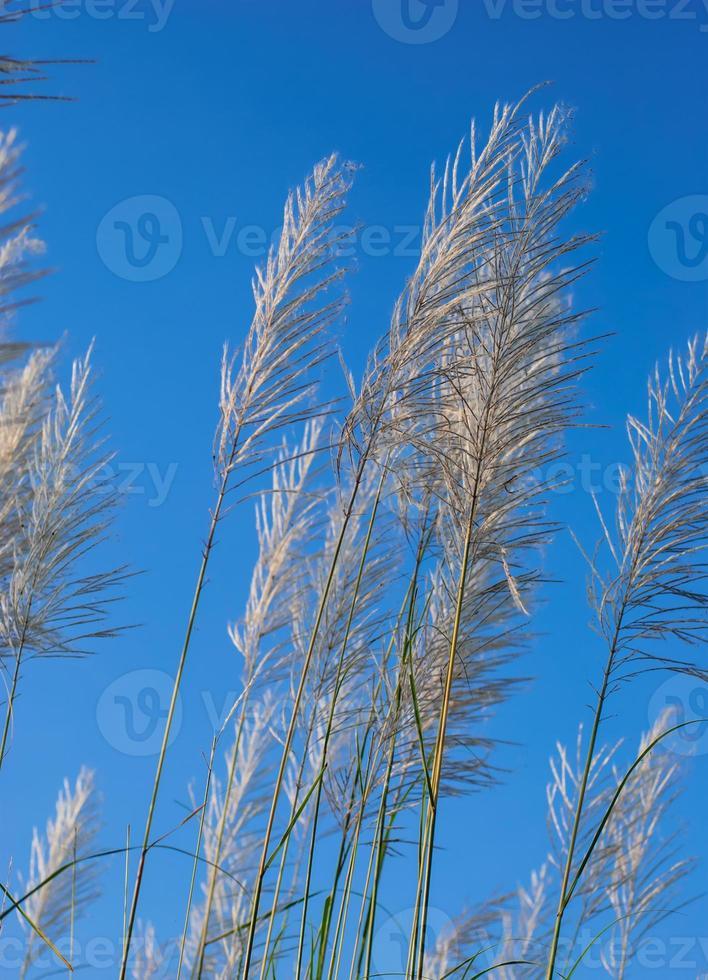 Pampasgrasblumen foto