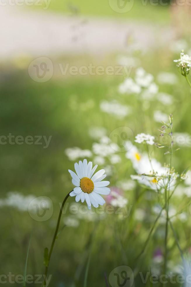Gänseblümchen, Sommerfoto foto