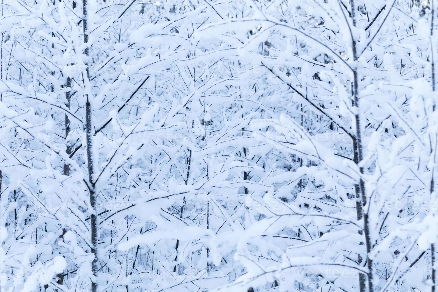 Winterbäume foto
