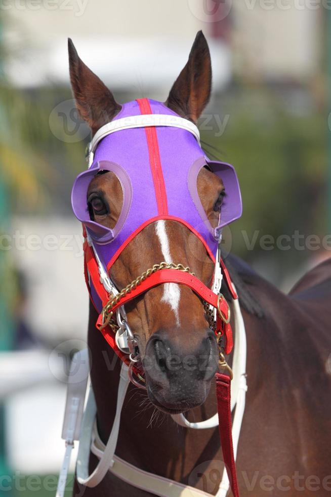 Pferdekopf mit lila Scheuklappen foto