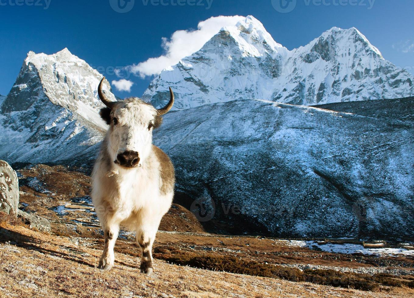 Yak auf Weide und Ama Dablam Peak foto