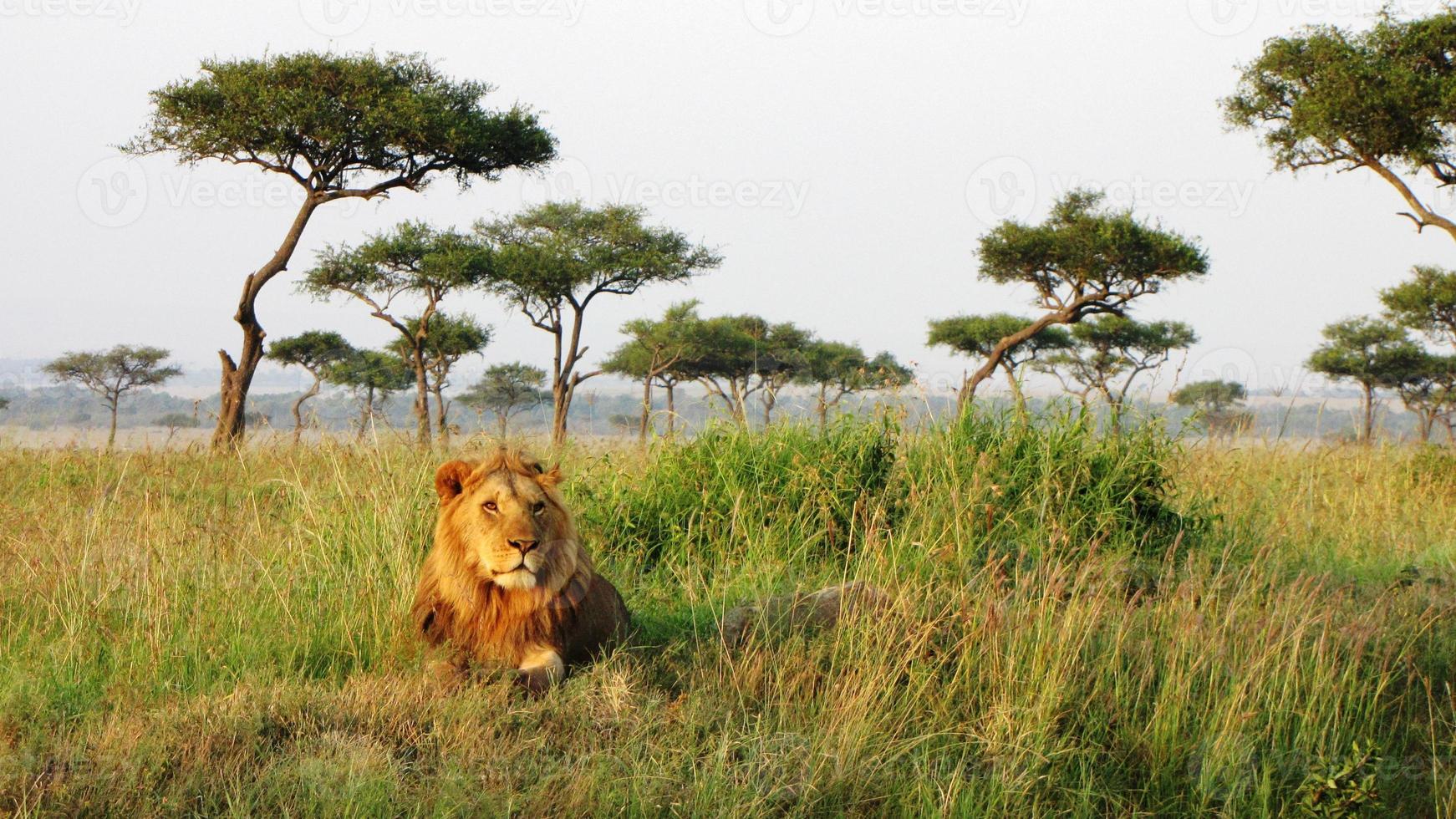 Löwe - Savanne, Masai Mara National Reserve, Kenia foto