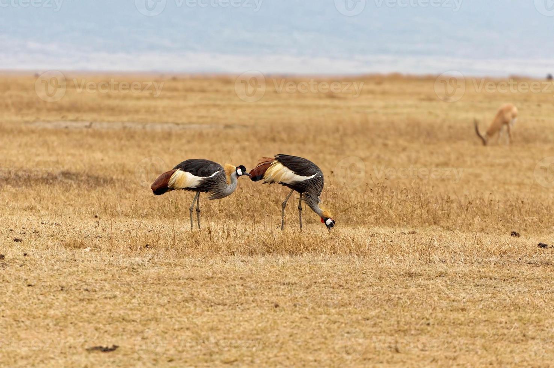 wilde Vögel, die auf einer Wiese in Afrika gehen foto