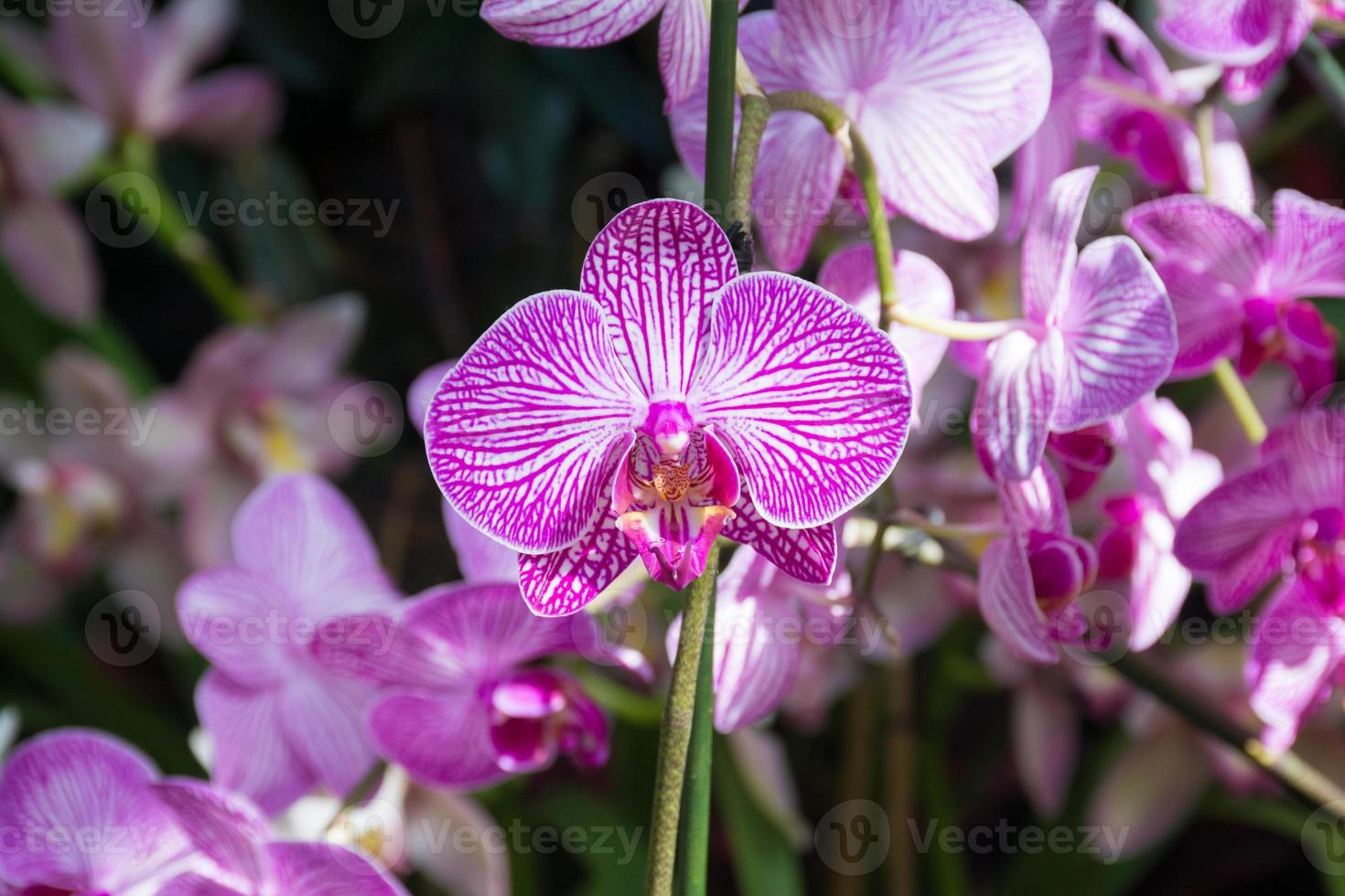 Rosa Orchideen bei der Orchideenshow, botanischer Garten von New York foto