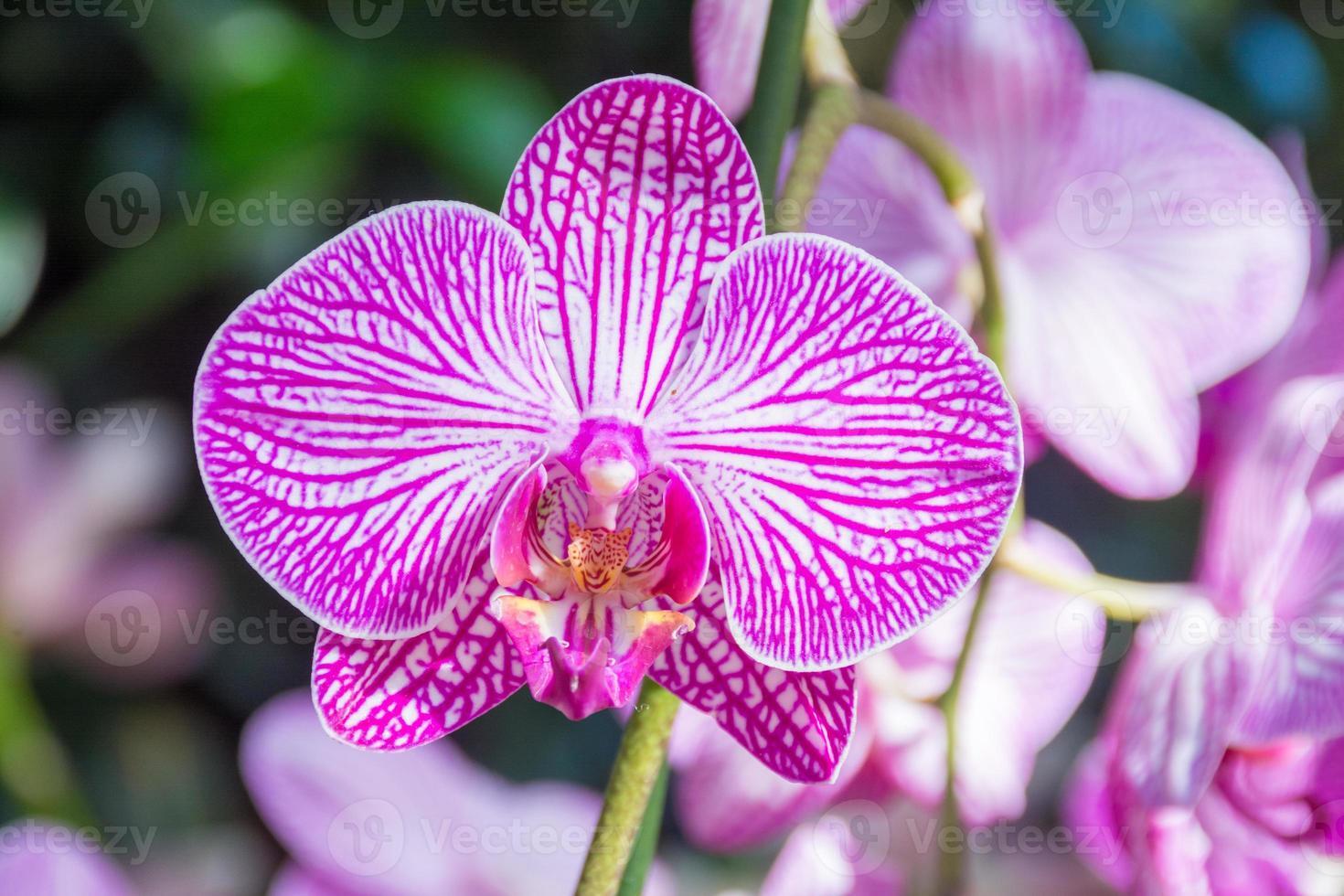 Rosa Orchidee bei der Orchideenshow, New Yorker Botanischer Garten foto