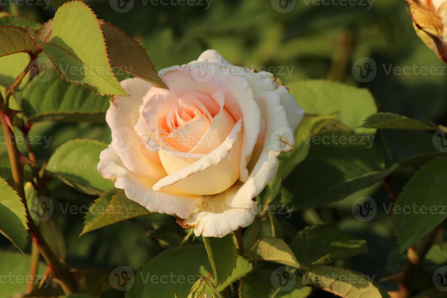 rosa 'henri salvador' - rose foto