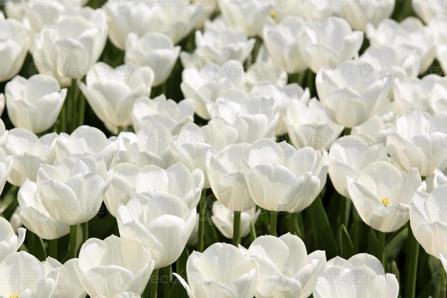 bunte Tulpen und Muscari Blumen foto