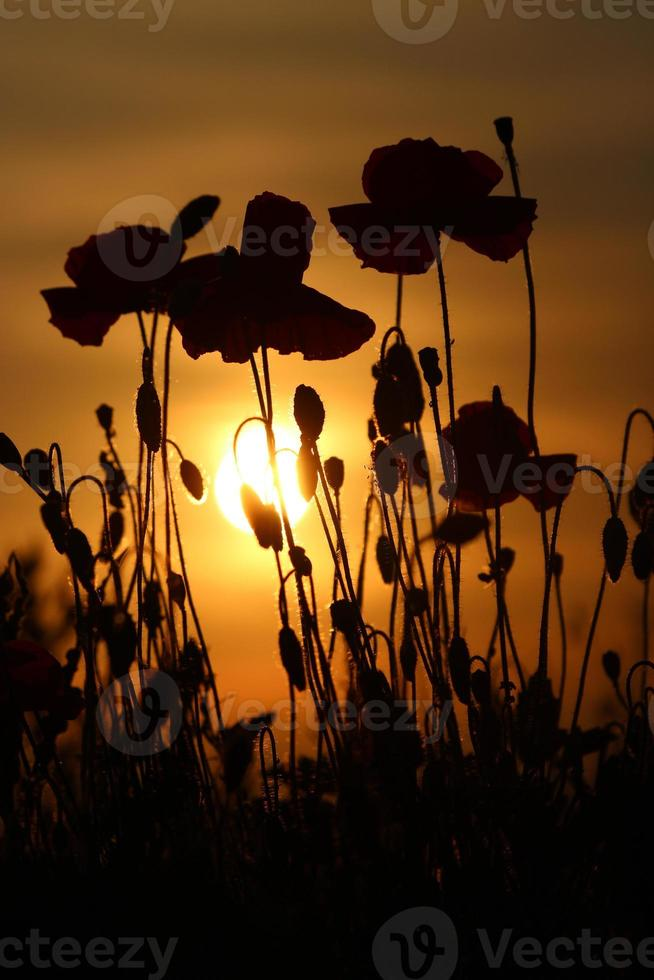 Mohnblumen bei Sonnenuntergang foto