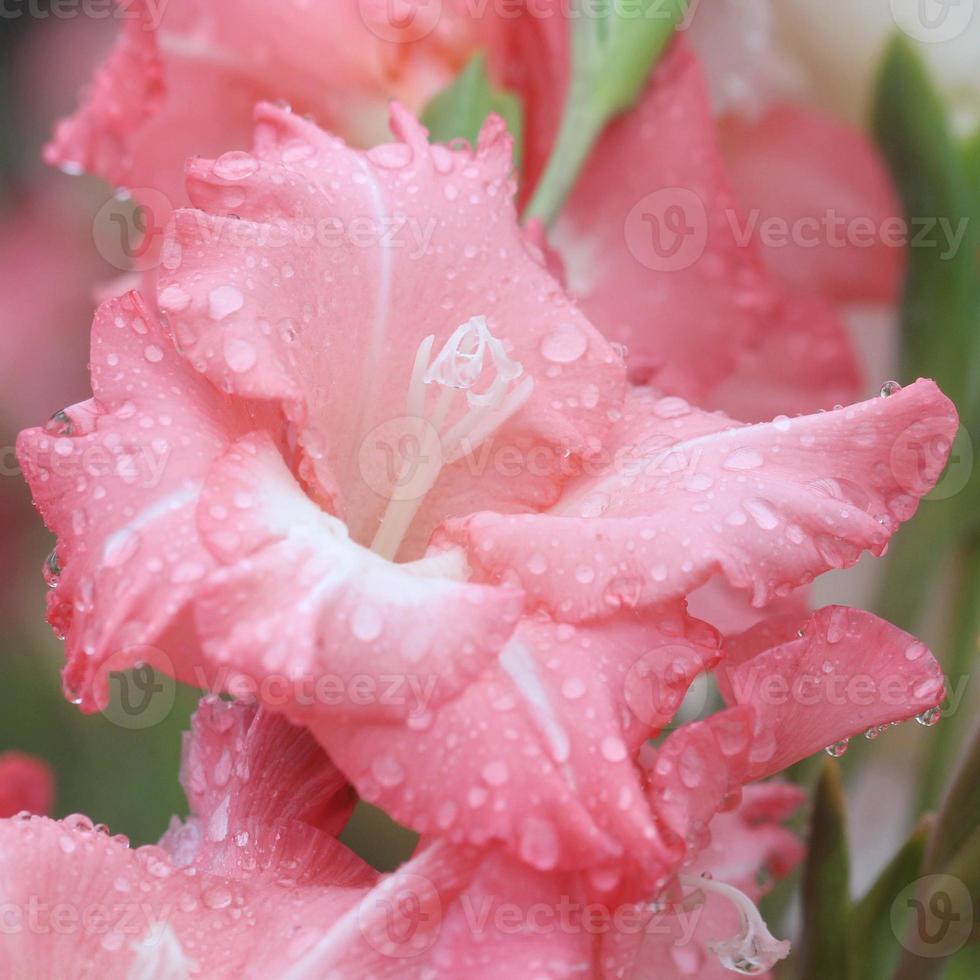 Makro-Regentropfen auf Blume, Gladiolenblume foto