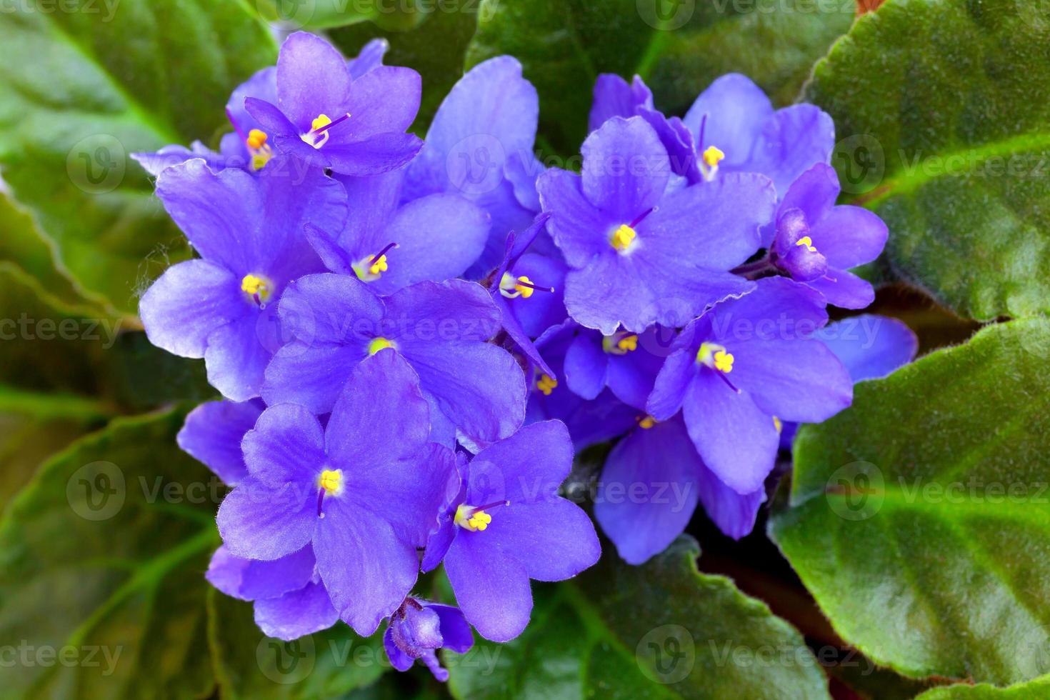 violette Blüten foto