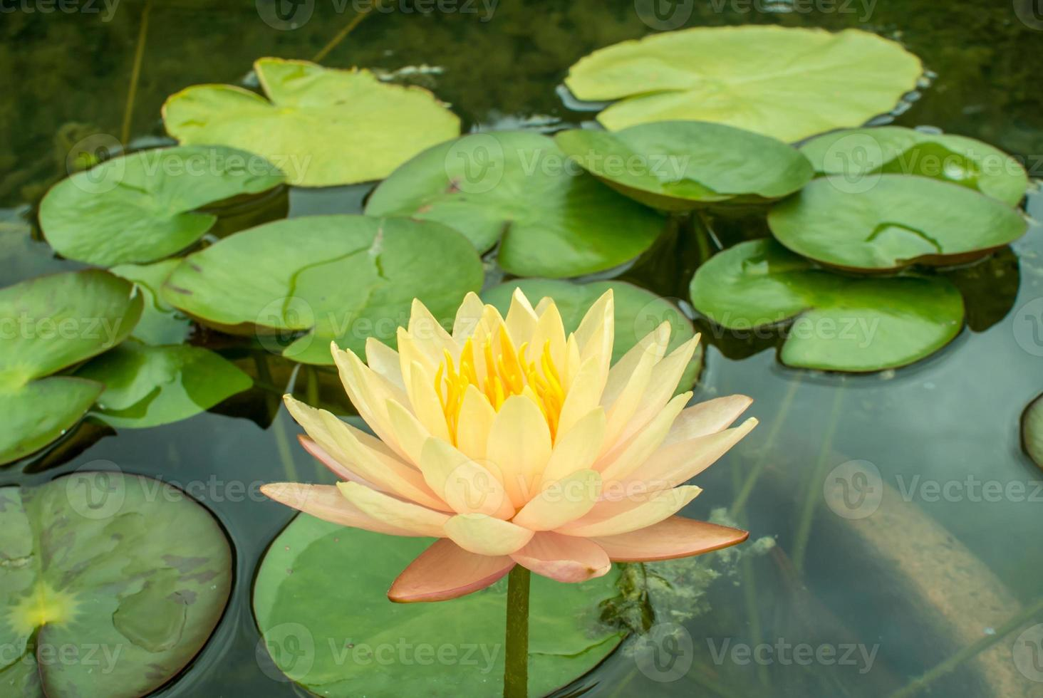 Lotus hautnah foto
