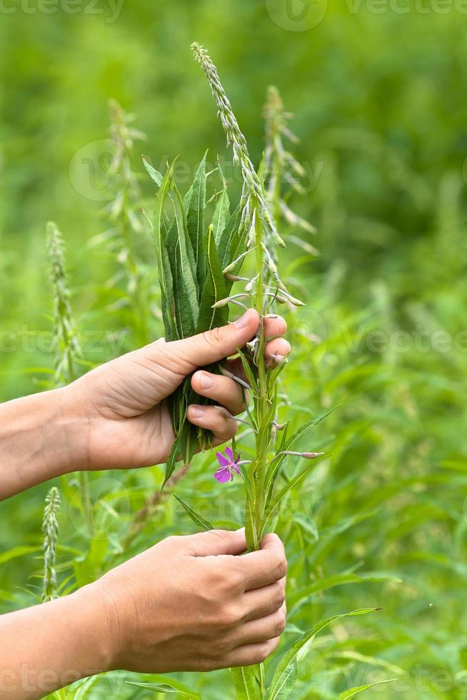 Hände sammeln Blätter von Weidenkraut (Iwan-Tee) foto