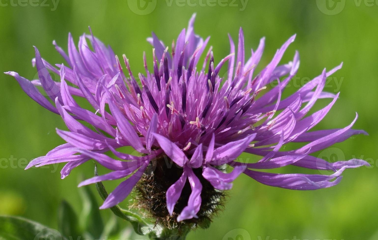 Flockenblumen-Nahaufnahme foto
