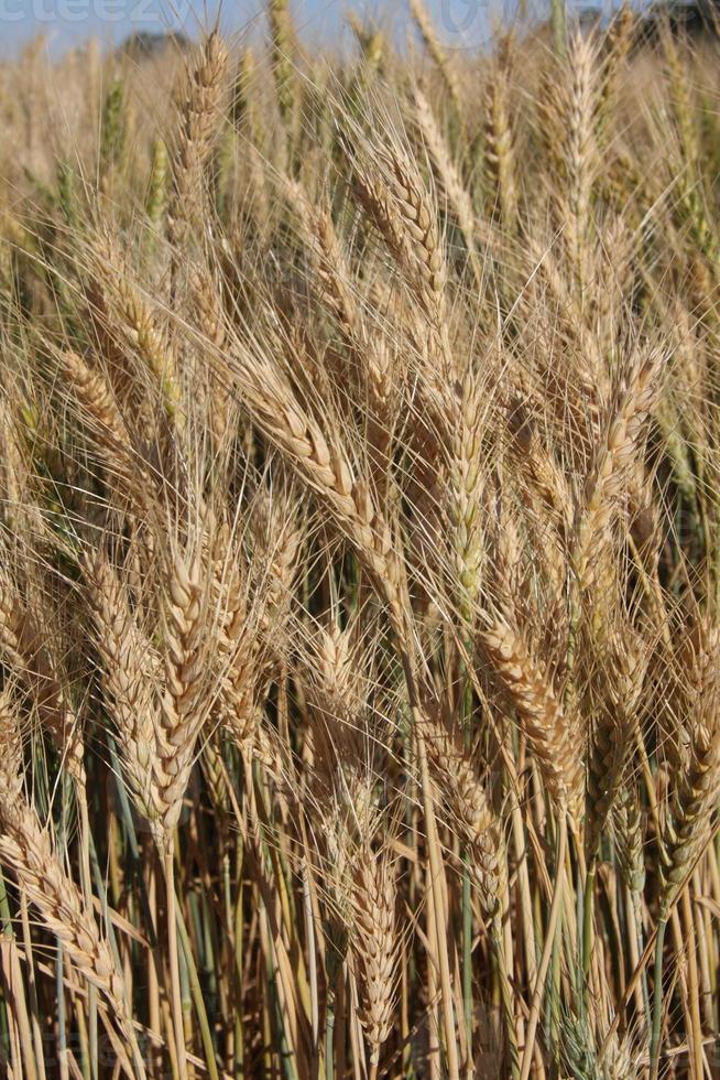 Weizen Nahaufnahme - Hintergrund foto